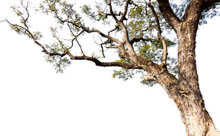 Großer Baum auf weißem Hintergrund Standard-Bild - 25950298