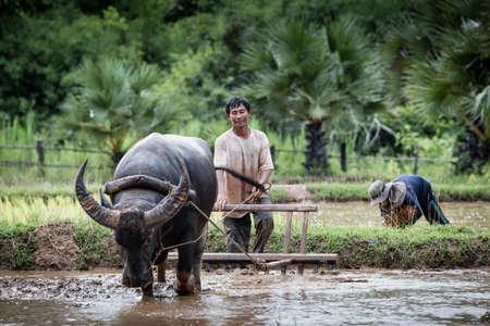 Asian farmer working with his buffalo