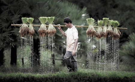 field of thai: Farmers grow rice in the rainy season. They were soaked with water and mud to be prepared for planting. wait three months to harvest crops.