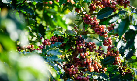 Coffee tree with coffee bean on cafe plantation Zdjęcie Seryjne - 36213698