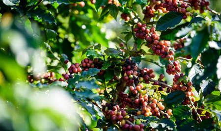 frijoles rojos: Árbol de café con el grano de café en la plantación de café
