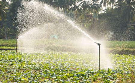 irrigated: Morning view of a hand line sprinkler system in a farm field.