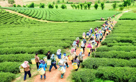 green landscape: Crowd of tea picker picking tea leaf on plantation, Chiang Rai, Thailand