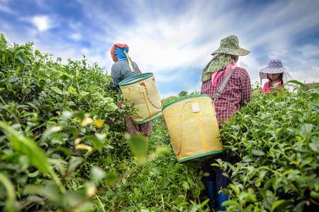 プランテーション、チェンライ、タイで茶葉を選ぶ茶ピッカー