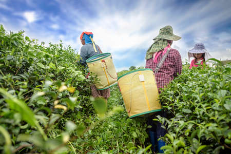 Tea picker picking tea leaf on plantation, Chiang Rai, Thailand Stock Photo