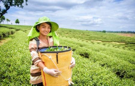 granjero: Mujer que cosecha las hojas de té jóvenes, Tailandia Foto de archivo