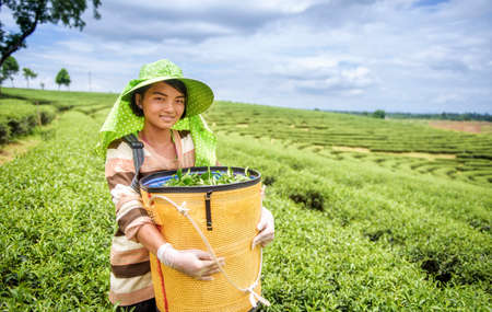 harvest: Young woman harvesting tea leaves, Thailand