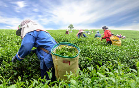 Crowd of tea picker picking tea leaf on plantation, Chiang Rai, Thailand