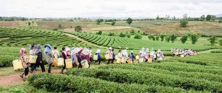 tea plantations: Crowd of tea picker picking tea leaf on plantation, Chiang Rai, Thailand