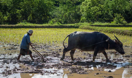 Thai farmer working with his buffalo, They were soaked with water and mud to be prepared for planting. wait three months to harvest crops.