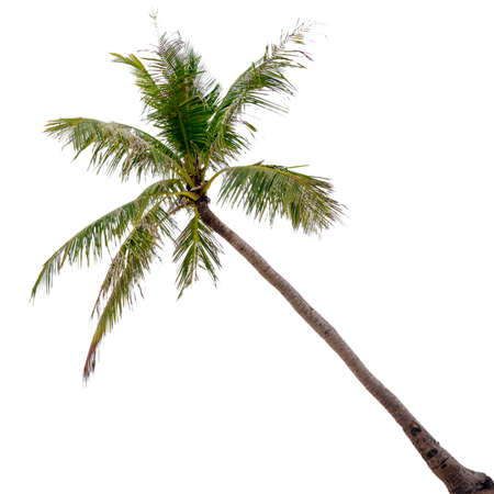 cocos nucifera: Coconut palm tree, Cocos Nucifera, with green leaves isolated on white background