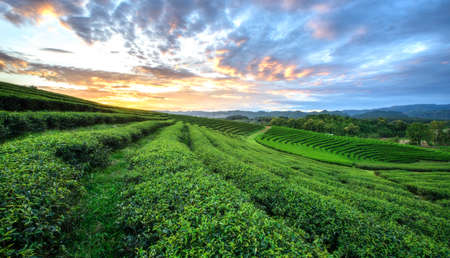 tea plantations: Sunset view of tea plantation landscape at Chiang rai, Thailand. Stock Photo