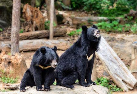 bear berry: Black Bear Stock Photo