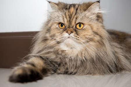grey eyed: Portrait of a pet Persian cat