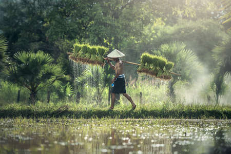 Rice farming, Farmers grow rice in the rainy season. They were soaked with water and mud to be prepared for planting.