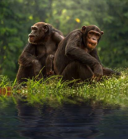 pan paniscus: Couple chimpanzee sitting and relax in the nature