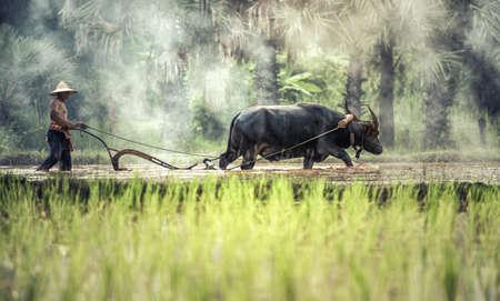 Rice farming with buffalo Stock Photo