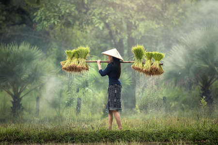 Woman Farmers grow rice in the rainy season. They were soaked with water and mud to be prepared for planting. wait three months to harvest crops 免版税图像