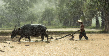 Farmers grow rice in the rainy season. They were soaked with water and mud to be prepared for planting. wait three months to harvest crops Stock Photo