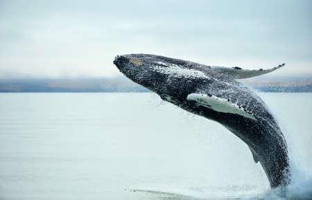 Baleine à bosse (Megaptera novaeangliae) violer près de la ville de Husavik en Islande.