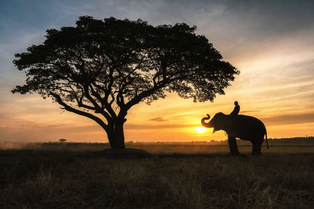 Silhouette elephant on the background of sunset,elephant thai in Surin Province, Thailand.