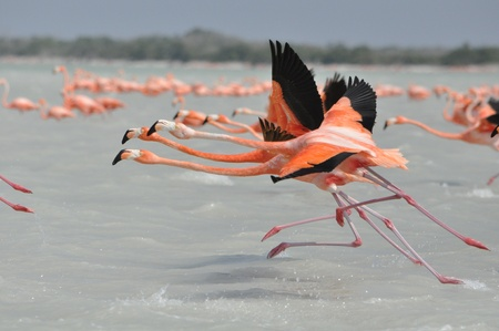 yucatan: Flamingos Race