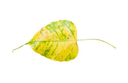 yellow bodhi leaf vein on white background  Stock Photo - 14068623