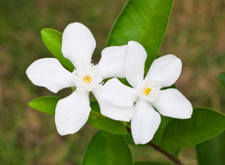 White flowers in the garden   Stockfoto