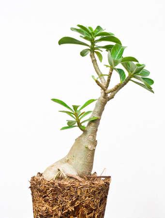 Desert rose or Ping Bignonia in flowerpot isolated on white back Stock Photo - 14755355