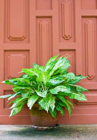 Aglaonema Plant in pot