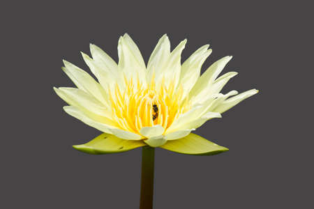 White water lily with yellow stamens in full flower  photo