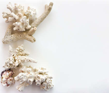 coral on a white background  photo