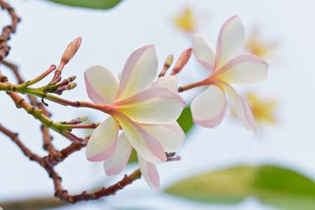 Branch of tropical flowers frangipani  plumeria Stock Photo - 16961893