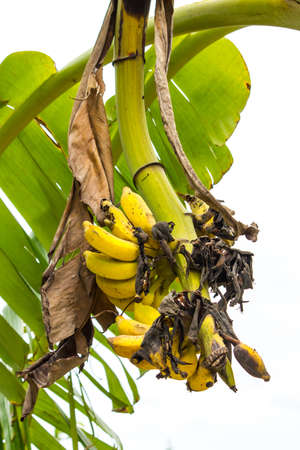 ripening: Bananas ripening on the tree