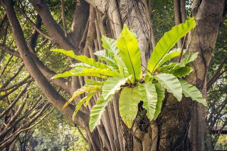 bird nest fern Growing On A Tree  photo