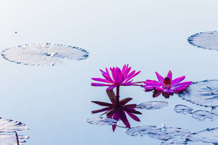 beautiful blossom lotus flower in Thailand pond reflect on water Stock Photo - 25757886