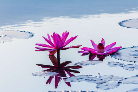 beautiful blossom lotus flower in Thailand pond reflect on water Stock Photo - 25757809