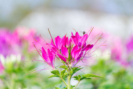 whiskers: Pink Flowers With Whiskers