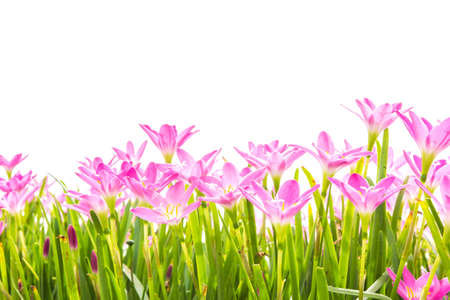 spring flowers: Zephyranthes Lily, Rain Lily, Fairy Lily, Little Witches