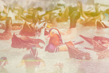 swimming bird: Duck Swimming, Bird, Duck, Bird on Water, Green Water, Male Mandarin Duck, made with color filters,blurred focus.