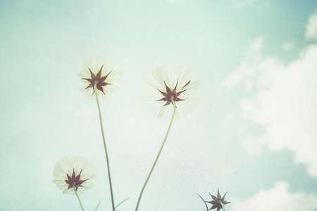 kosmos: Soft focus cosmos flower on vintage pastel background Lizenzfreie Bilder