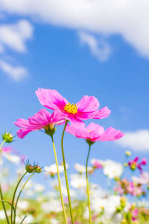 red flower: Cosmos flower and blue sky Stock Photo