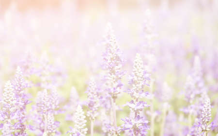 Summer blossoming lavender background, selective focus, pastel and soft card