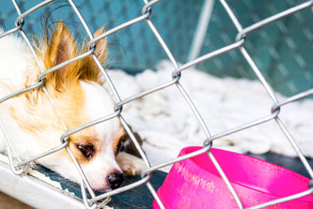 closeup chihuahua of a dog cage Stock Photo