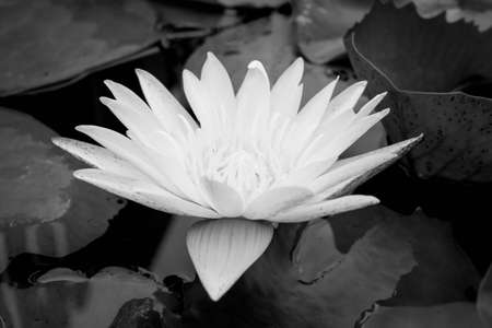 Black & white water lily