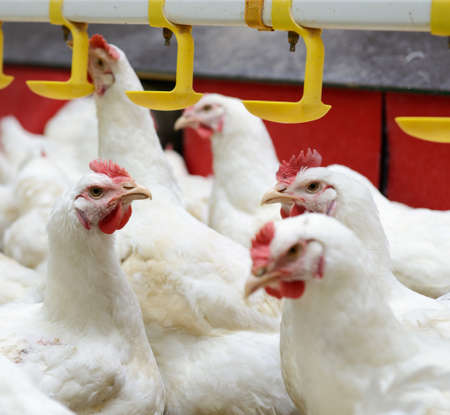 cluck: Modern chicken farm, production of white meat