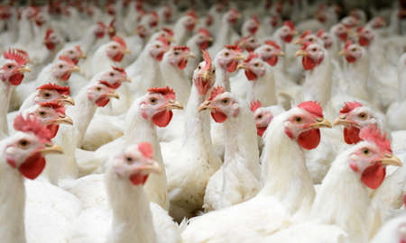 food drink industry: Modern chicken farm, production of white meat