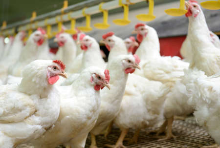 poultry animals: Modern chicken farm, production of white meat