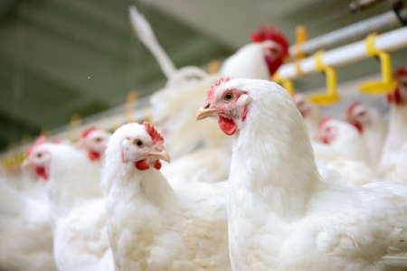 food and drink industry: Modern chicken farm, production of white meat