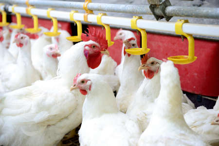 poultry: Modern chicken farm, production of white meat